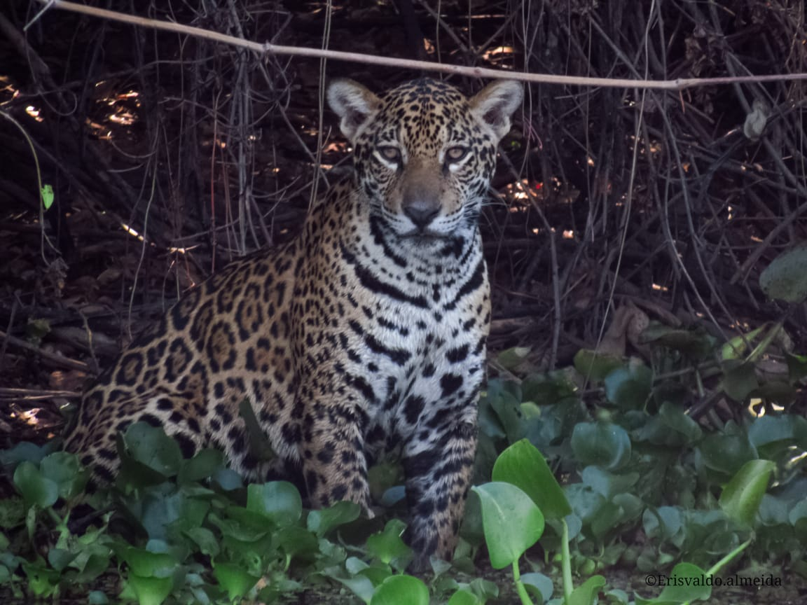 jaguar tour, Pantanal Trip, Pantanal Travel